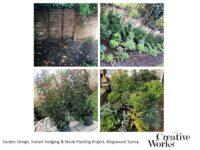 Garden Design, Instant Hedging & Shrub Planting Project, Kingswood Surrey