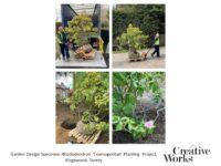 Garden Design Specimen Rhododendron 'Cosmopolitan' Planting Project, Kingswood, Surrey